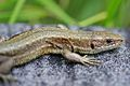 European Common Lizard (Zootoca vivipara) (8618629387).jpg