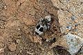 Euspinolia militaris, hormiga panda - Flickr - Pato Novoa.jpg