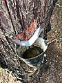 Explotación de resina en el pinar de Peñausende 3.jpg