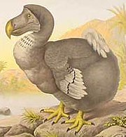 The Dodo, shown here in illustration, is an often-cited example of modern extinction.