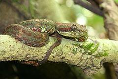 240px eyelash viper, christmas tree color variation