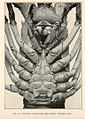 FMIB 39034 Sternum of adult male spiny lobster, Panulirus argus.jpeg