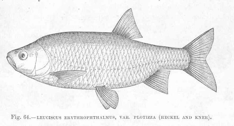 File:FMIB 48032 Leuciscus erythrophthalmus, var Plotizza (Heckel and Kner).jpeg
