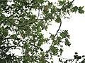 Fagus sylvatica Cristata JPG01b.jpg