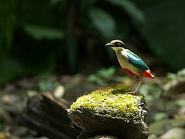 Pitta nympha (Chinese pitta)