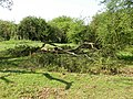 Fallen tree on Quy Fen - geograph.org.uk - 1264287.jpg