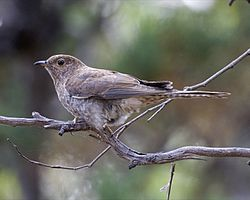 Fan-tailed Cuckoo (Cacomantis flabelliformis) 1.jpg