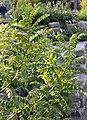 Faves del dimoni (Astragalus lusitanicus), jardí botànic de València.JPG