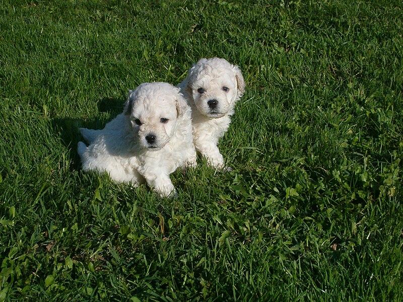 File:Fehér puli kiskutyak.jpg