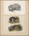 Felis pardus - 1700-1880 - Print - Iconographia Zoologica - Special Collections University of Amsterdam - UBA01 IZ22100214.tif