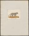 Felis spec. - 1700-1880 - Print - Iconographia Zoologica - Special Collections University of Amsterdam - UBA01 IZ22100306.tif