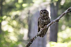 Female Spotted Owl (14598450762).jpg