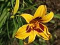 Fenceline Daylilies - 9277903486.jpg