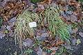 Festuca pratensis - Botanischer Garten, Dresden, Germany - DSC08710.JPG