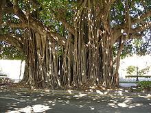 Banyan Tree - Ficus benghalensis - Details - Encyclopedia of Life