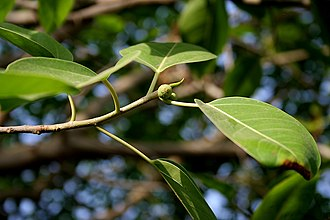 Ficus benjamina - Image: Ficus benjamina (Weeping Fig) in Hyderabad W IMG 8313