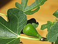 Ficus carica bonsai A D150625 fig.jpg