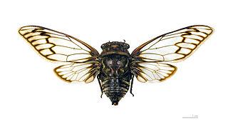 Fidicinini Tribe of true bugs