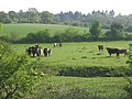Fields with cattle south of B1078 - geograph.org.uk - 790027.jpg