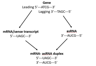 Antisense RNA - AsRNA is transcribed from the lagging strand of a gene and is complementary to a specific mRNA or sense transcript.