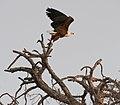 Fish eagle (6176256128).jpg