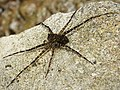 Fishing Spider, Dolomedes species possibly D. tenebrosus (41066155240).jpg