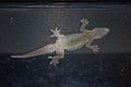 Flat-tailed House Gecko (Cosymbotus platyurus)3.jpg
