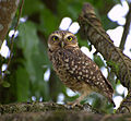Flickr - Dario Sanches - CORUJA-BURAQUEIRA (Athene cunicularia) (3).jpg