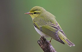 Flickr - Rainbirder - Wood Warbler (Phylloscopus sibilatrix).jpg