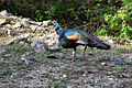 Flickr - ggallice - Ocellated turkey, El Mirador.jpg
