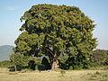 Flora of Tanzania 3866 Nevit.jpg