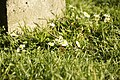 Flower in grass at National Basilica of the Sacred Heart in Koekelberg - panoramio.jpg