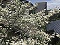 Flowers of Cornus florida 20190418.jpg
