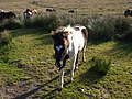 Foal near Swincombe - geograph.org.uk - 1501708.jpg