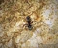 Formica species worker ant chasing spider (43896436320).jpg
