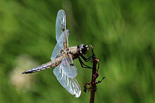 Four-spotted chaser dragonfly (Libellula quadrimaculata) male.jpg