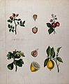 Four fruiting plants, a rose, a strawberry, a fig and a lemo Wellcome V0044549.jpg