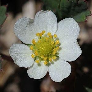 Fragaria iinumae - Image: Fragaria iinumae (flower s 6)