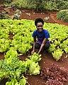 Fresh lettuce from a farm at Limuru.jpg