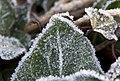 Frost (5217836747).jpg