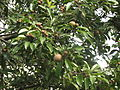 Fruits in sappotta tree.JPG