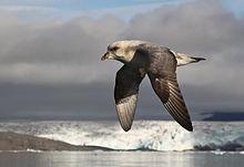 Northern Fulmar | Audubon Field Guide