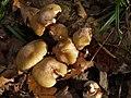 Fungi, Kerswell Down Plantation - geograph.org.uk - 604635.jpg