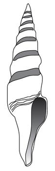 A Fusiturris similis shell.