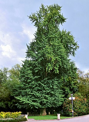 Älterer Ginkgobaum (Ginkgo biloba)