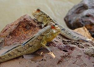 Mudskipper - Periophthalmus barbarus mudskippers in The Gambia