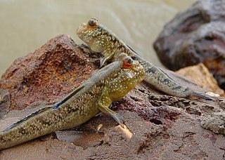 Mudskipper subfamily of fishes