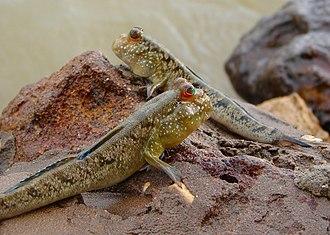 Semiaquatic - Atlantic mudskippers, amphibious fish of mangrove swamps and tidal flats