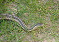 Garter Snake? (3823864469).jpg