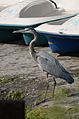 Garza Morena, Great Blue Heron, Ardea herodias (12510576834).jpg